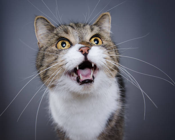 meowing cat studio shot of tabby white british shorthair cat meowing and looking up animal mouth stock pictures, royalty-free photos & images
