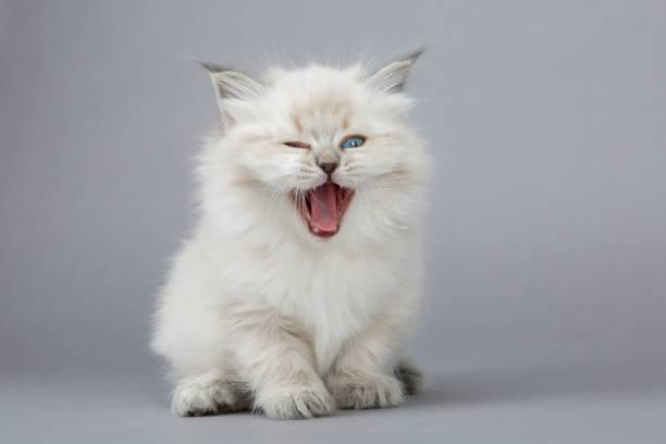 Meowing kitten portrait picture id1032284794?b=1&k=6&m=1032284794&s=612x612&w=0&h=9a9lz rclr6awp37irjxlo2a84a s yrsnm8xueyq0a=