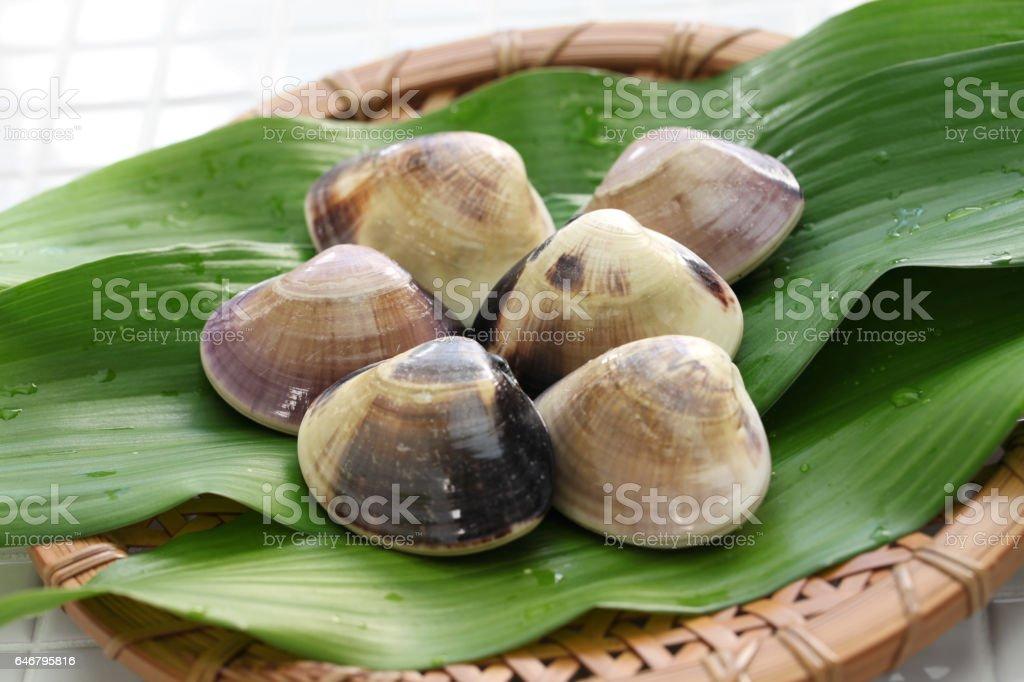 meretrix lamarckii, chousen hamaguri, almejas japonesas - foto de stock
