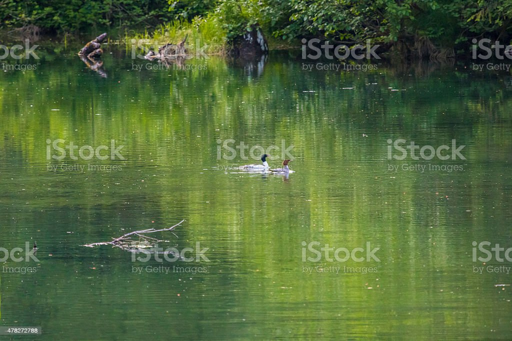 Merganser couple swim in the lagoon stock photo