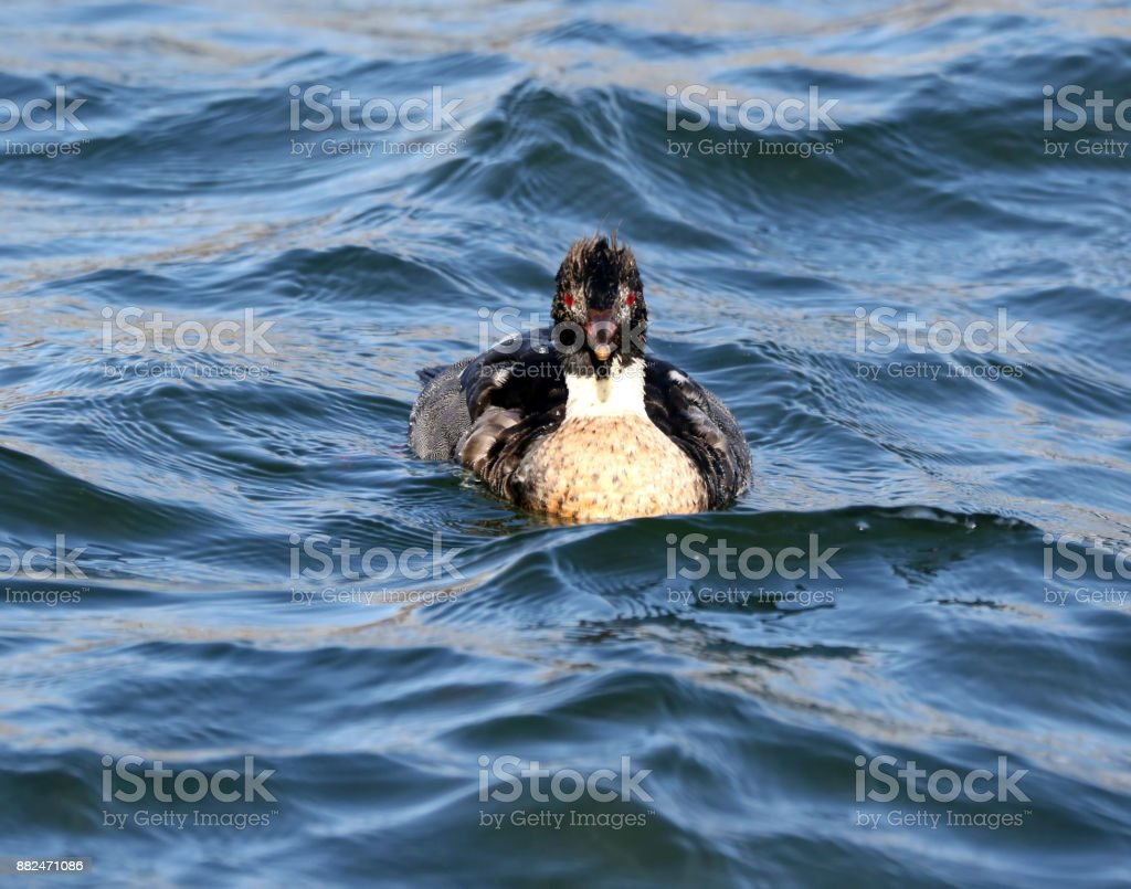 Merganser Duck - Royalty-free Beach Stock Photo
