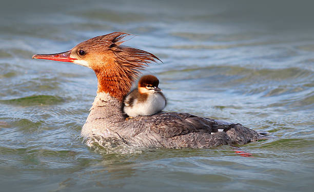 Merganser Duck with baby duckling Mother Merganserwith baby duck riding on her back in the water. lake waterfowl stock pictures, royalty-free photos & images