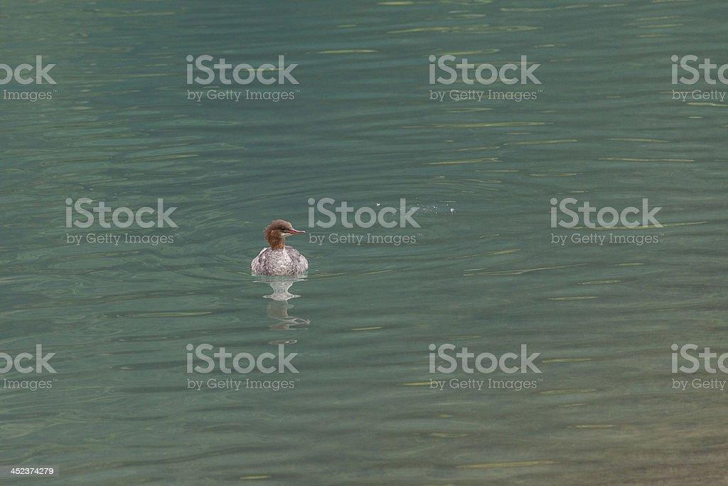 Merganser swimming in a lagoon stock photo