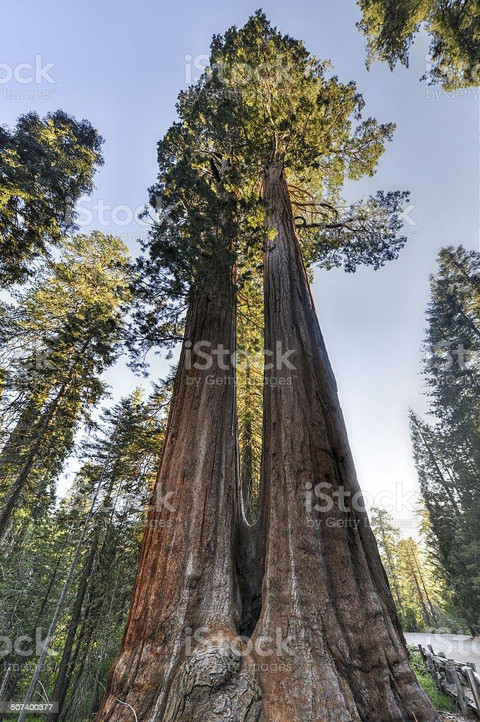 Merged Giant Sequoia Trees stock photo