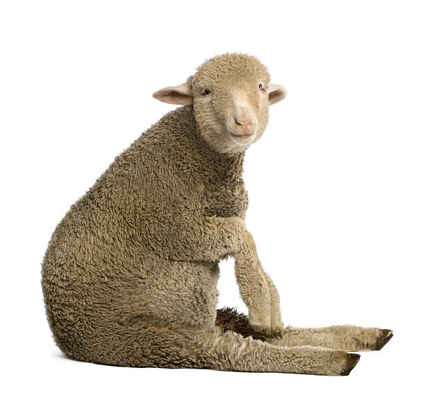 Merino lamb, sitting and looking at the camera.  merino sheep stock pictures, royalty-free photos & images
