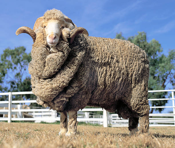 Merino Ram Stud Merino ram at a farm in Australia. merino sheep stock pictures, royalty-free photos & images