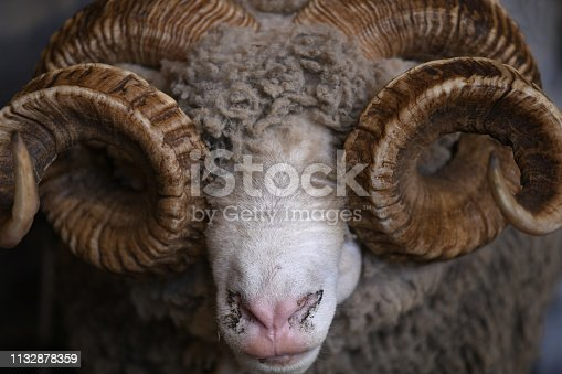 Respectful, spiral horns of a merino ram, New Zealand. Merino is the most important breeds of sheep prized for wool, originated in Spain, transplanted to New Zealand and Australia.