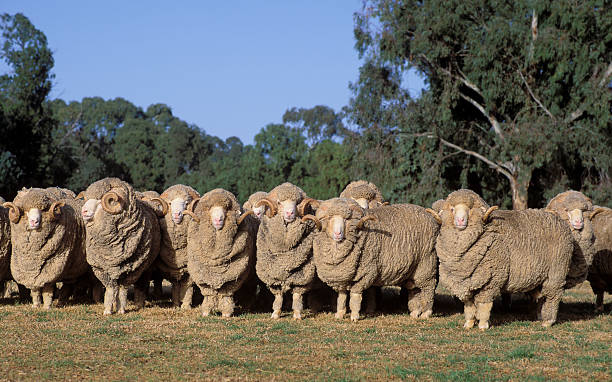 Merino rams Stud Merino rams. merino sheep stock pictures, royalty-free photos & images