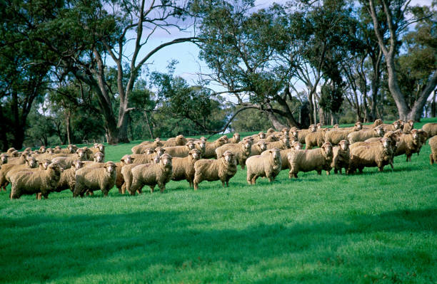Merino sheep, grazing in green pasture. Merino sheep produces high quality wool/ merino sheep stock pictures, royalty-free photos & images