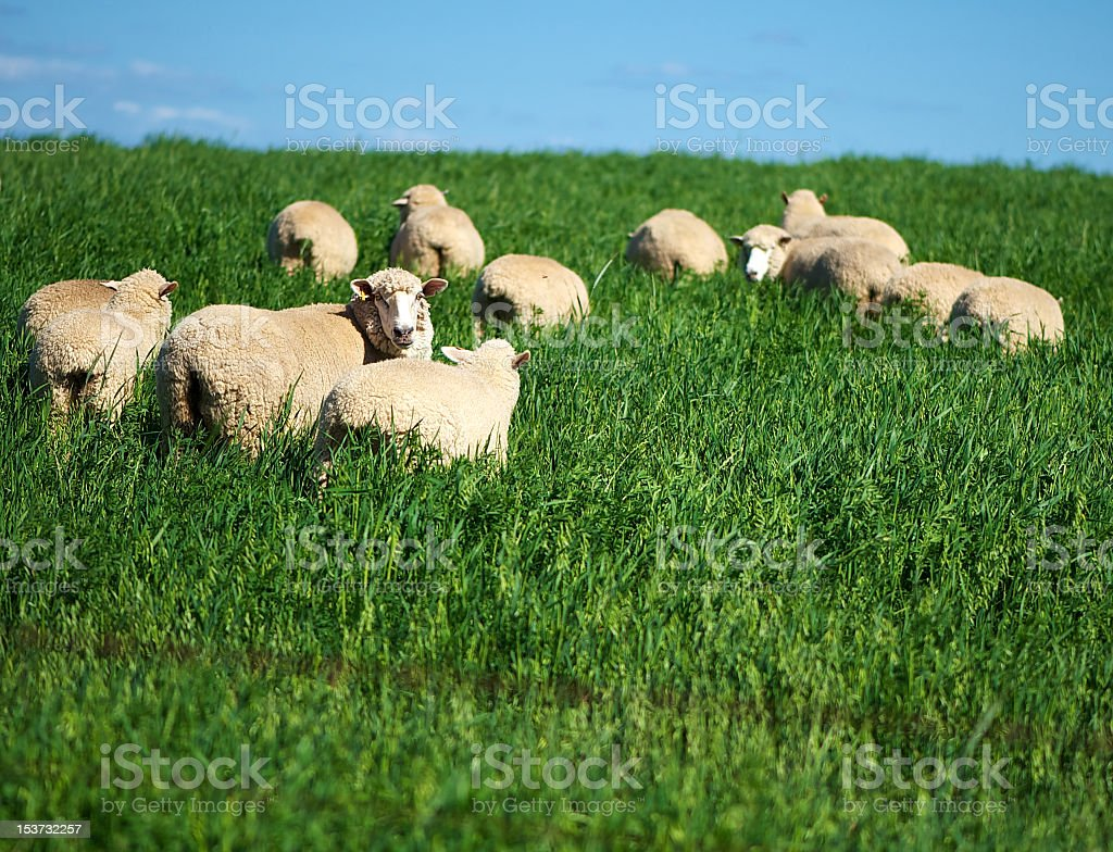 Merino Sheep in a lush paddock on an Australian farm stock photo