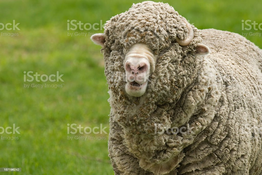 Merino Sheep royalty-free stock photo