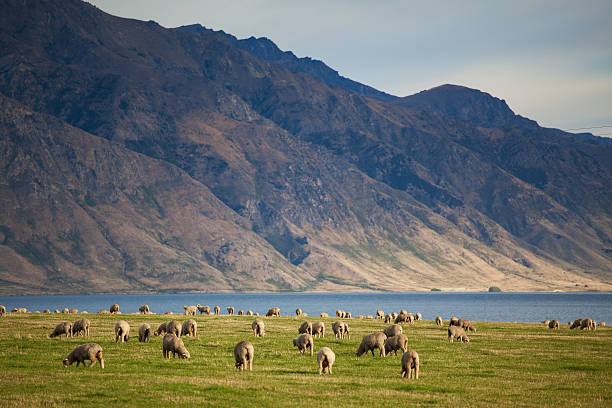 Merino sheep Sheep herd in New Zealand mountains merino sheep stock pictures, royalty-free photos & images