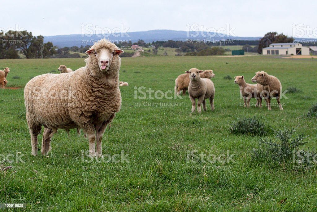 Merino Sheep Poking its Tongue stock photo
