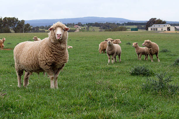 Merino Sheep Poking its Tongue Merino Sheep Poking its Tongue merino sheep stock pictures, royalty-free photos & images