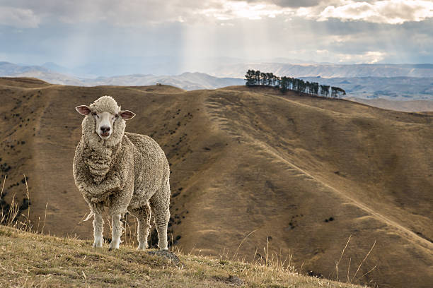 merino sheep standing on grassy hill merino sheep standing on Wither Hills in New Zealand merino sheep stock pictures, royalty-free photos & images