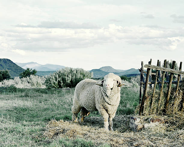Merino Sheep Stud, Graaf Reinet, Karoo South Africa Merino Sheep farming in South Africa was born in 1789 when six Spanish Merinos were donated by the Dutch, and today it forms a crucial part of the Karoo Economy. merino sheep stock pictures, royalty-free photos & images