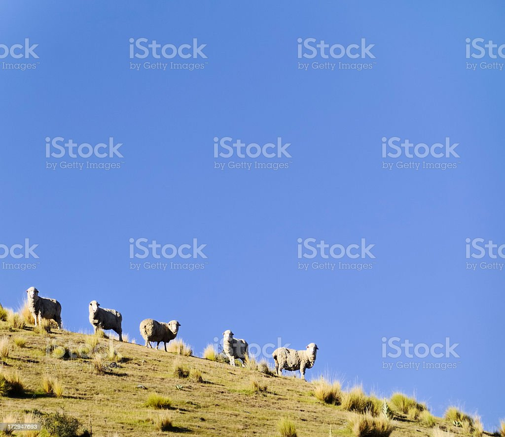 Merino Sheep with Copy Space royalty-free stock photo