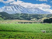 istock Merino sheeps  on field in farm, new zealand 956311586