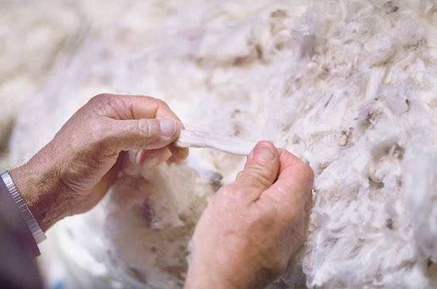 Merino Wool Australian Merino wool fleece after shearing merino sheep stock pictures, royalty-free photos & images