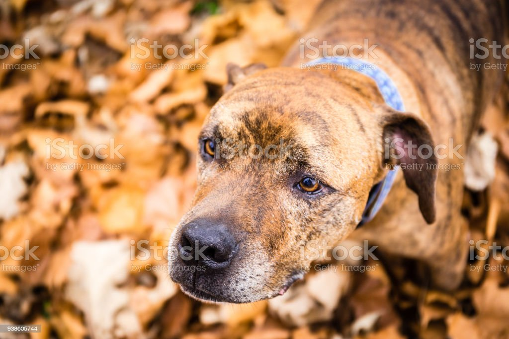 Merle dog outside in leaves stock photo