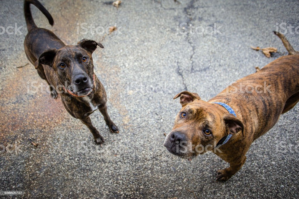 Merle dogs outside stock photo