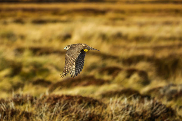 merlin of the moorland - falcon bird stock photos and pictures