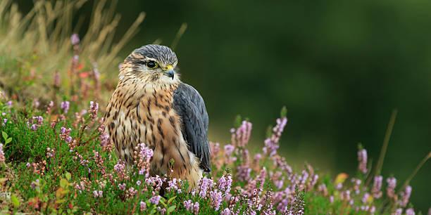 merlin (falco columbarius) - falcon bird stock photos and pictures