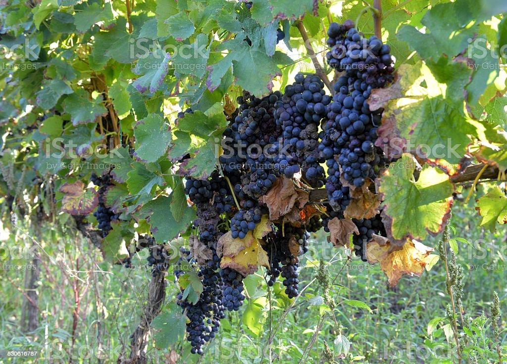 merlot grapes on the vine stock photo