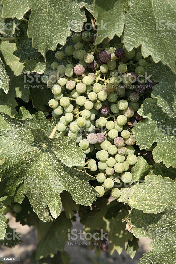 Merlot Grapes royalty-free stock photo