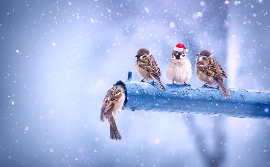 Cute funny Christmas sparrows in the New Year with a red cap with little red hats during a snowfall. Merry Christmas and Happy New Year.