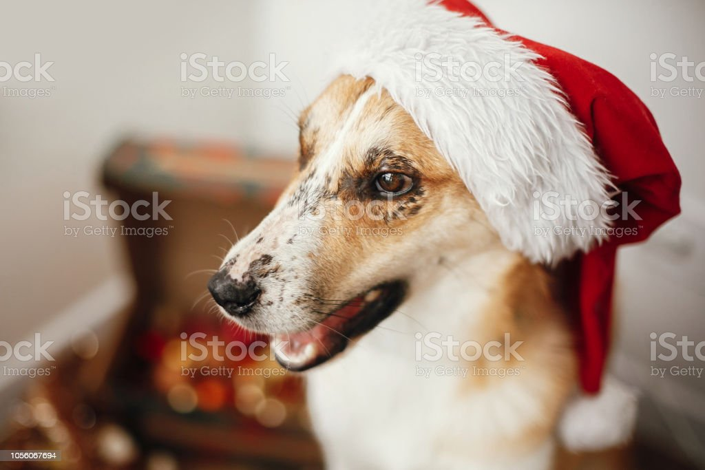 e68e64f308b Merry Christmas concept. Cute dog in santa hat with adorable eyes and funny  emotions sitting in festive room. Sweet golden doggy. Atmospheric image.
