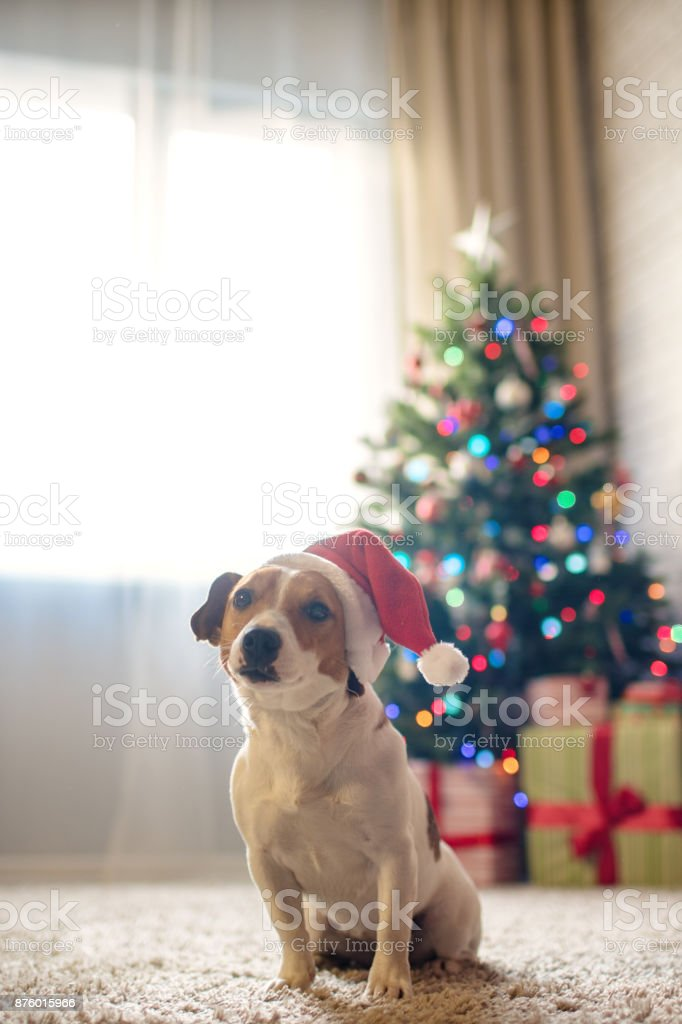 merry christmas dog jack russell terrier in a house decorated with a christmas tree and