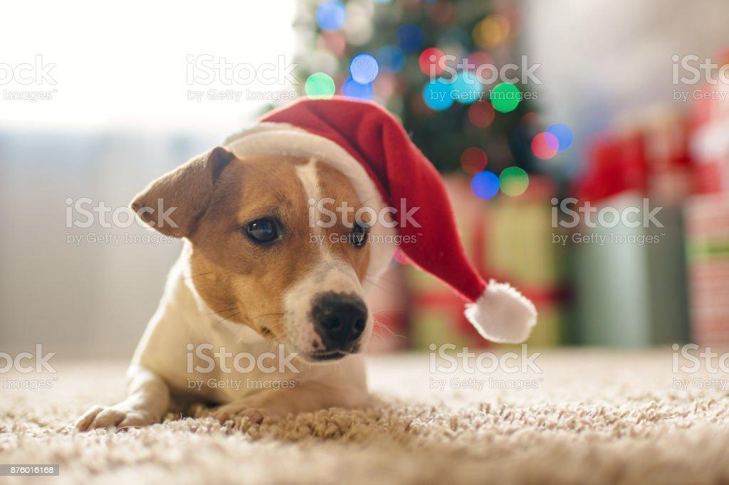 Frohe Weihnachten Hund Jack Russell Terrier In Einem Haus Verziert ...