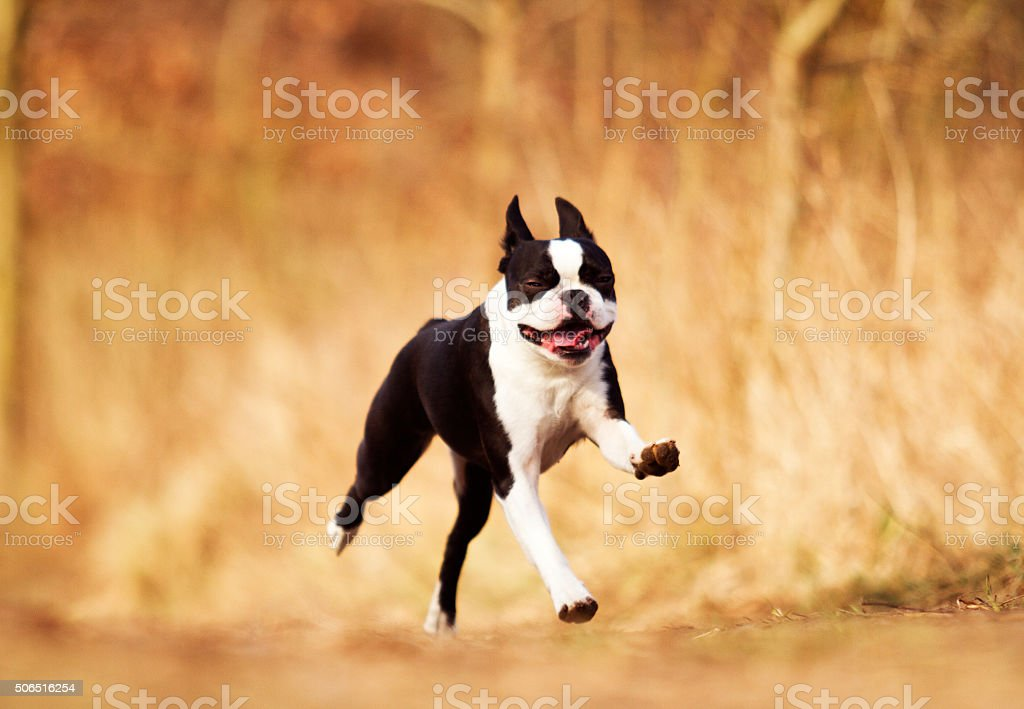 Joven feliz en blanco y negro de Boston Terrier cachorro y francés - foto de stock