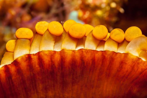 Merten's Carpet Sea Anemone Stichodactyla mertensii, Close-up, Pura Island, Indonesia stock photo