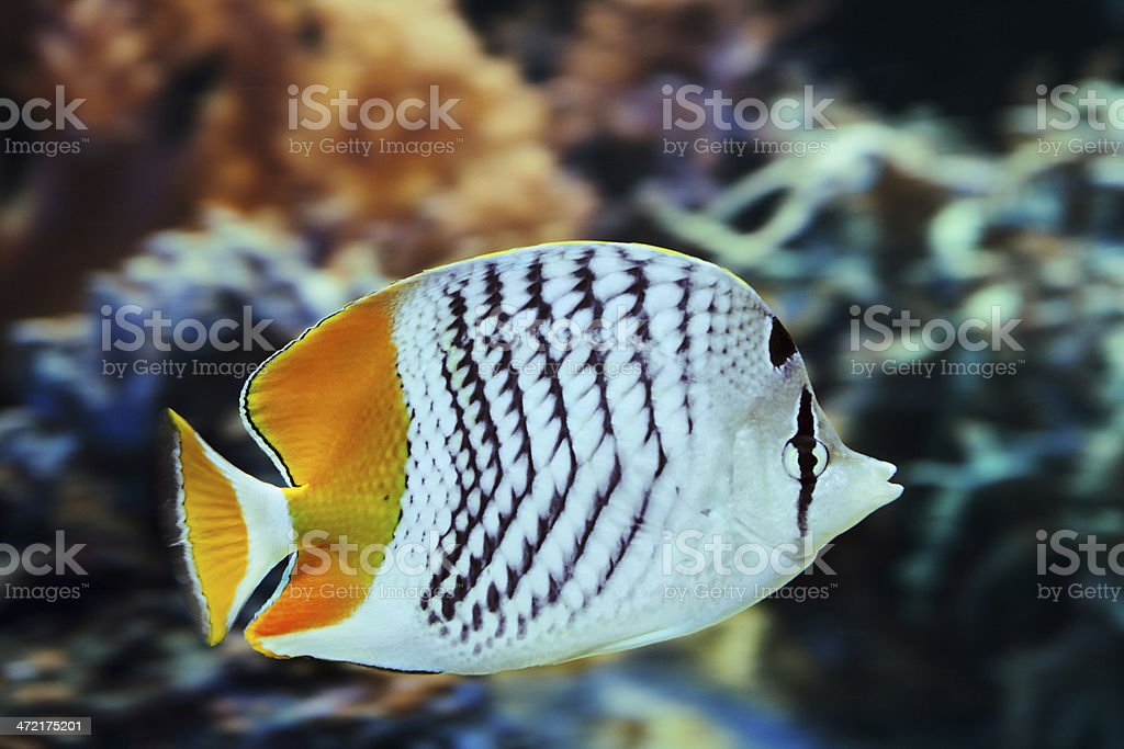 Mertensii Butterflyfish (Chaetodon mertensii) royalty-free stock photo