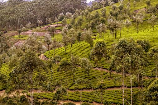 Tea Plantation in Munnar,Kerala