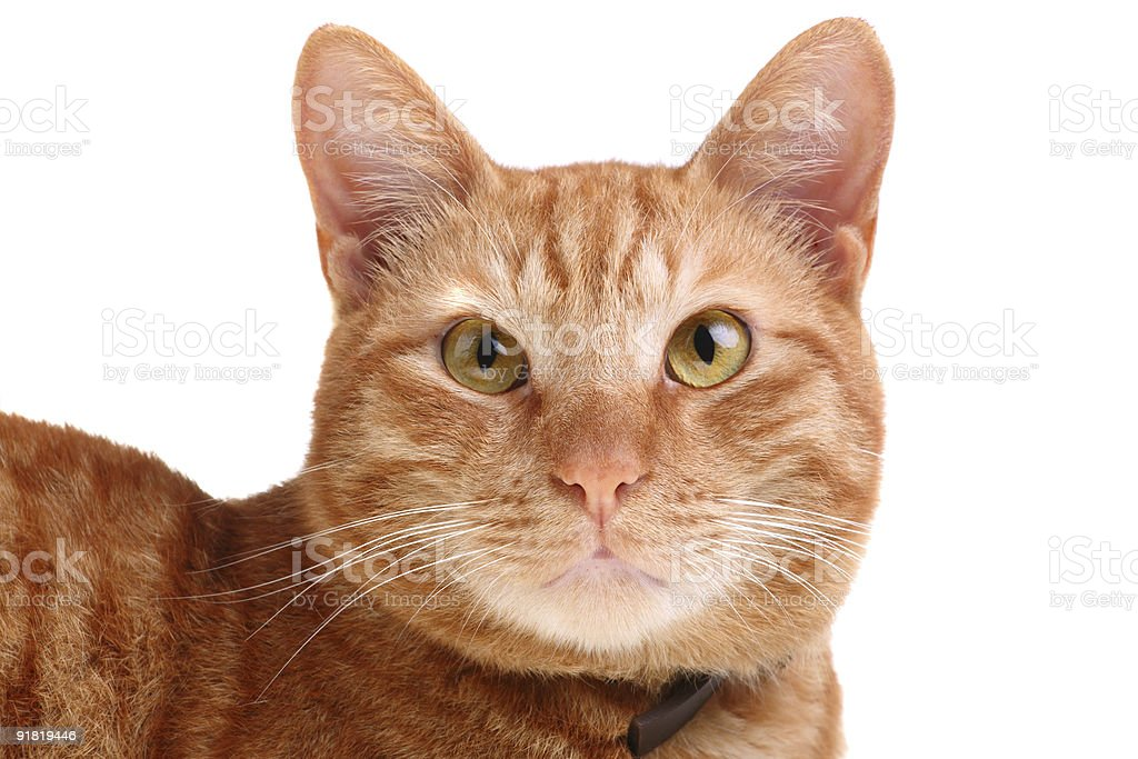 mesmerizing... red cat looking straight ahead royalty-free stock photo