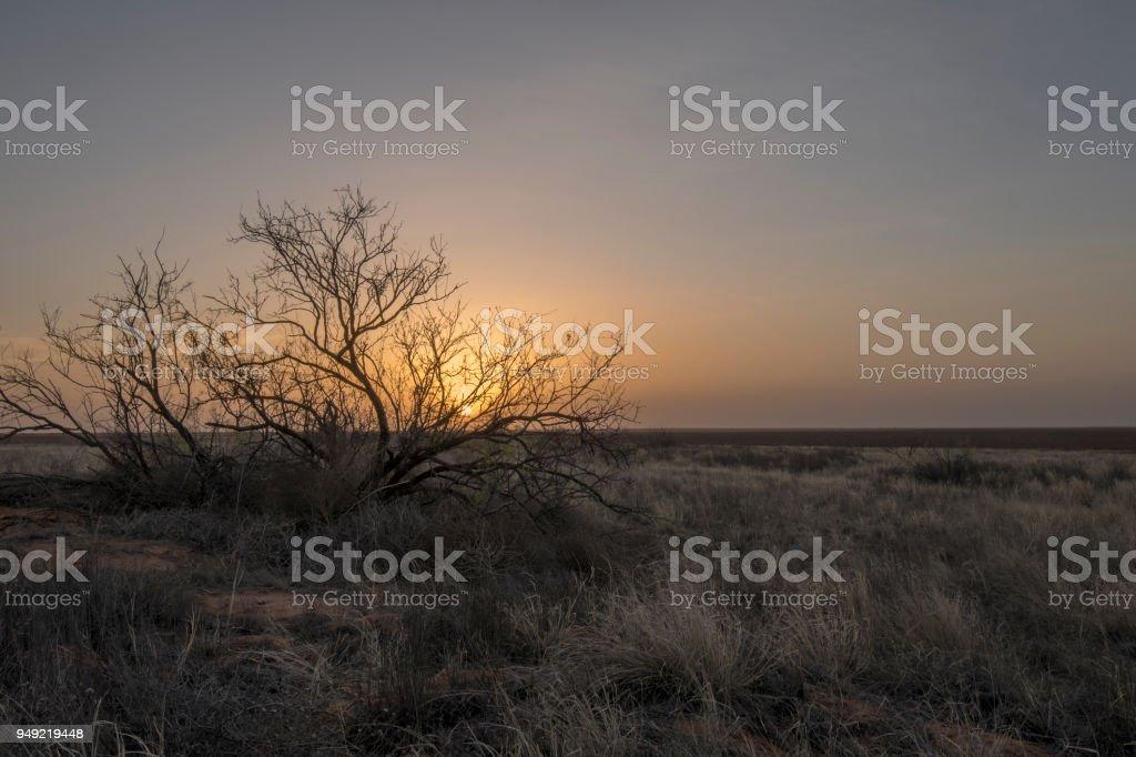 Mesquite Bush at Seminole, Texas stock photo