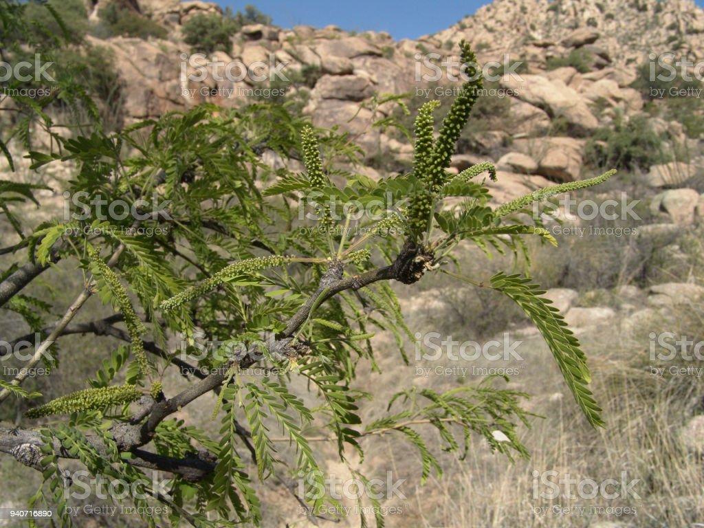 Mesquite Flowers stock photo