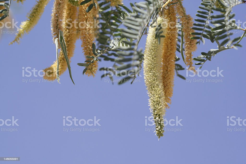 Mesquite tree blossom royalty-free stock photo