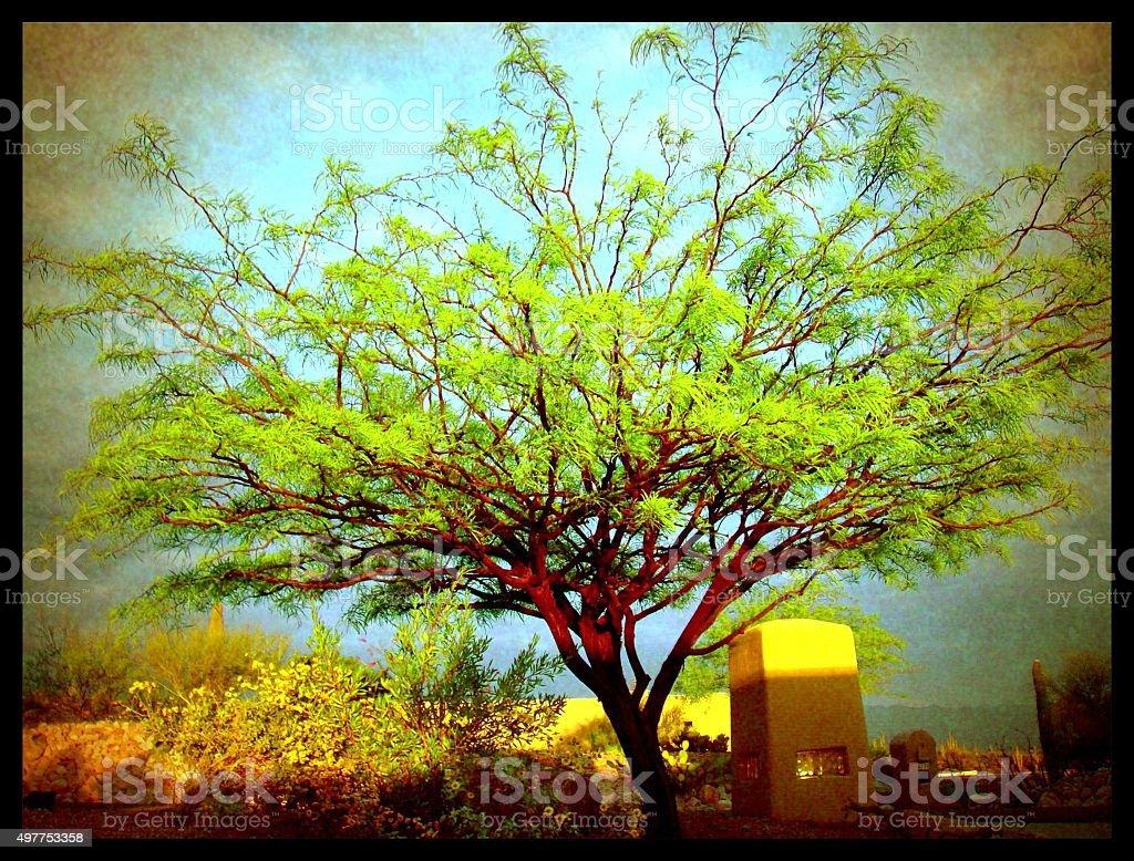 Mesquite Tree in Sun Tucson Arizona stock photo