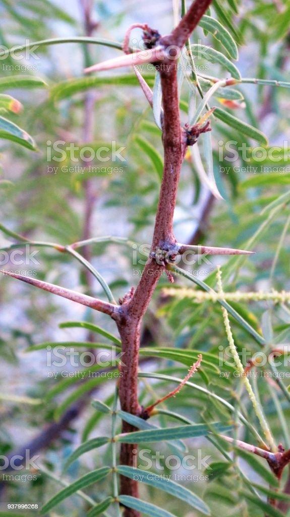 mesquite tree thorns, stock photo