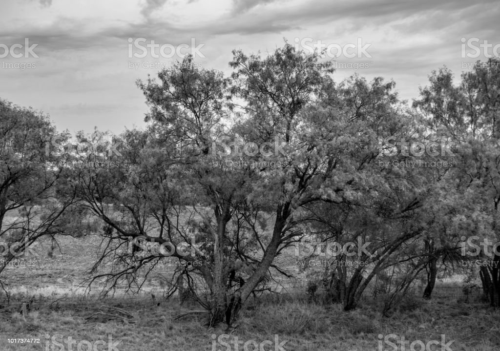 Mesquite trees roadside monochrome stock photo