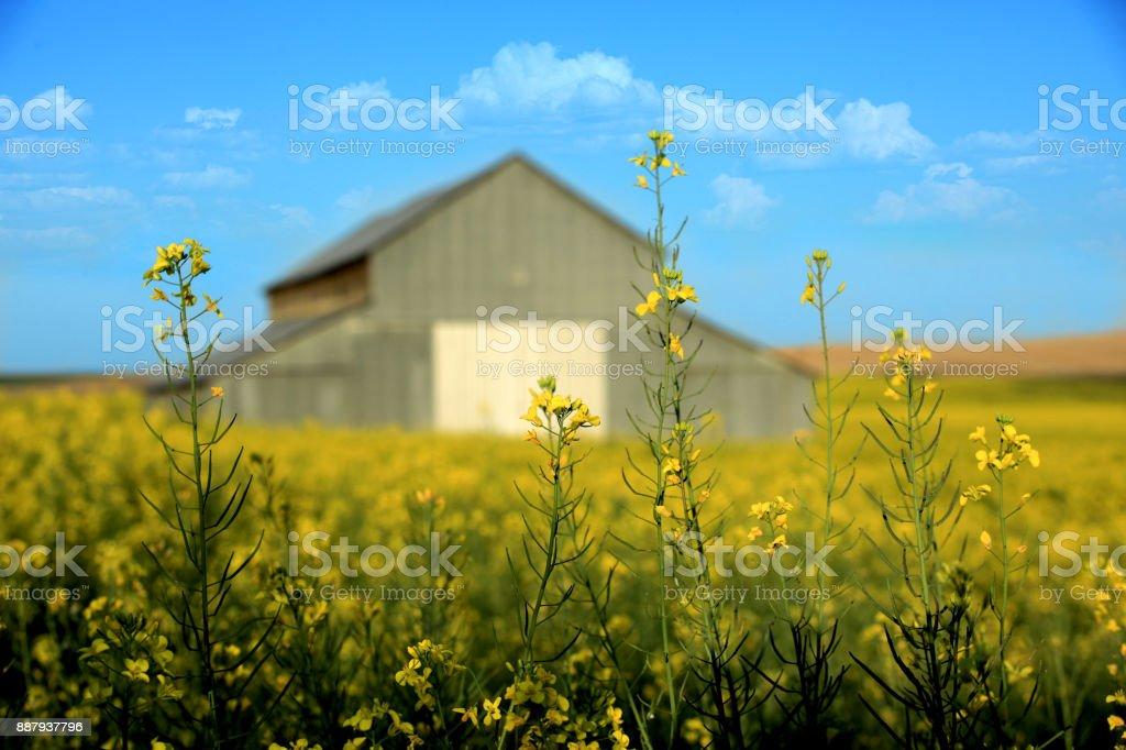 Metal Barn With Mustard Field Rural in Palouse Washington stock photo