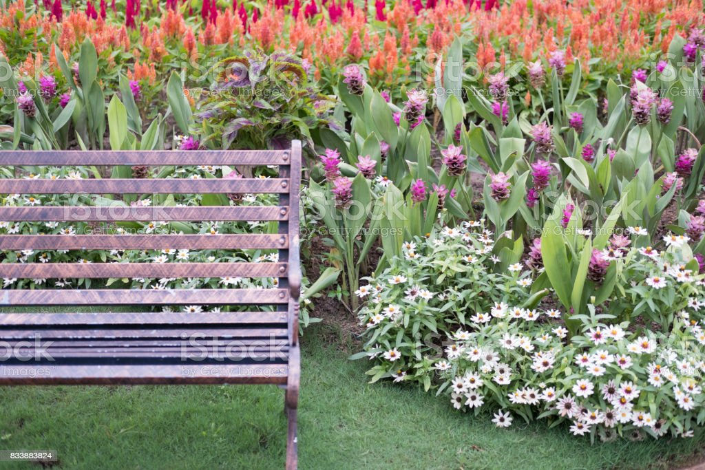 Admirable Metal Bench And Siam Tulip In Park Blooming Pink Flower In Machost Co Dining Chair Design Ideas Machostcouk