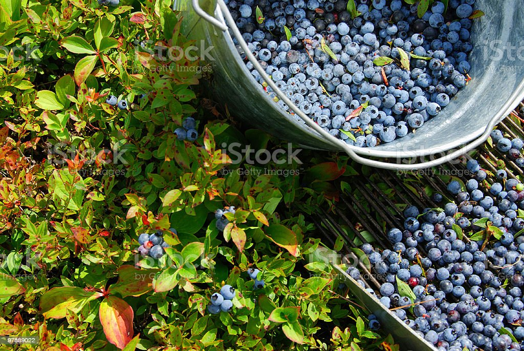 A metal bucket of blueberries and a bush stock photo