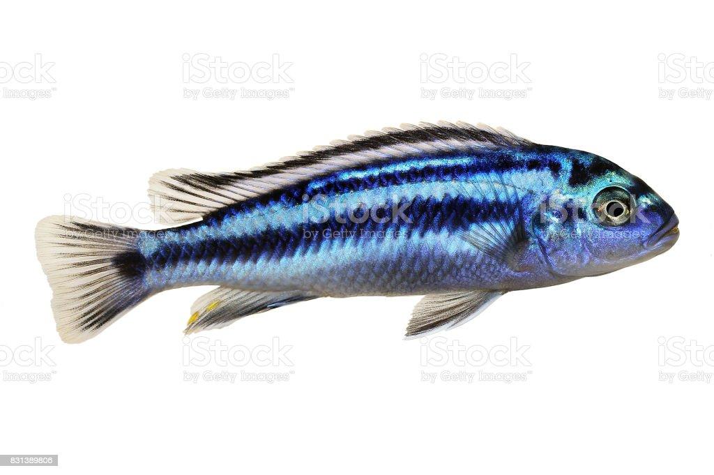 Metallic bluegray mbuna malawi cichlid Melanochromis johannii aquarium fish johanni stock photo