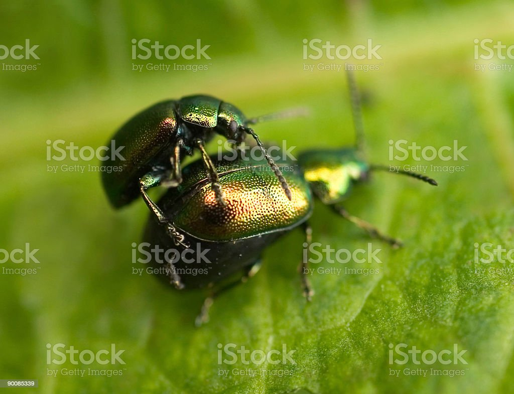 Metallic green beetles in courtship behaviour on leaf royalty-free stock photo