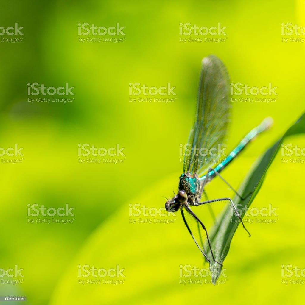 metallic green delicate damselfly resting on a green leaf